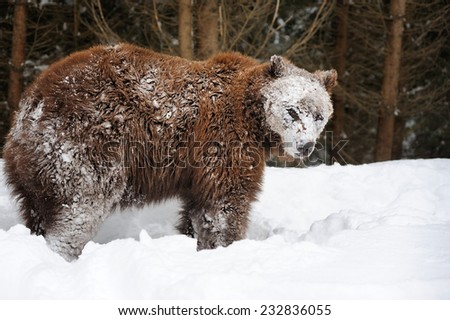 Big brown bear in winter forest - stock photo