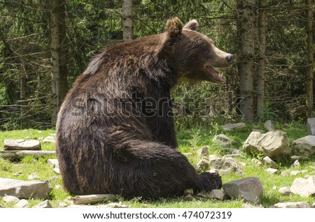 big brown bear is sitting