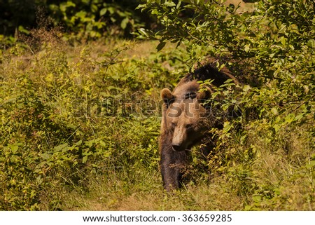 Big brown bear outgoing from the bush in golden light. Wildlife photography - stock photo
