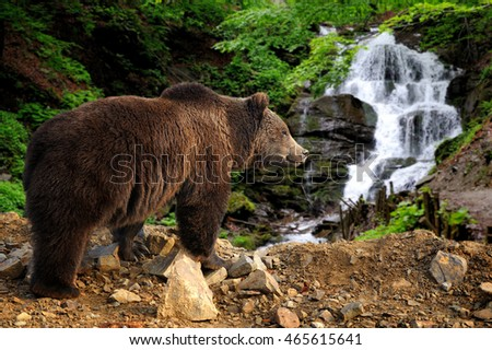 Big brown bear standing on a rock near a waterfall in the forest