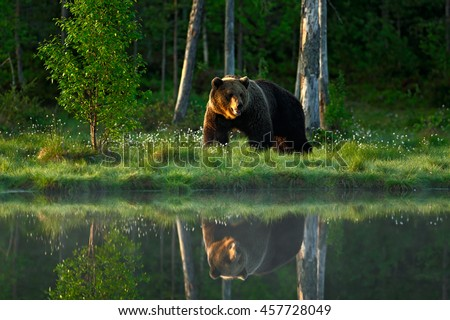 Big brown bear walking around lake in the morning sun. Dangerous animal in the forest. Wildlife scene from Europe. Brown bird in the nature habitat with water, Russia. Bear with reflection in water.