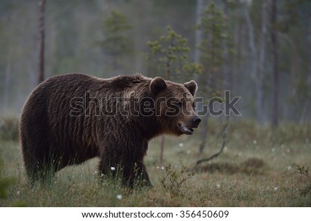 big brown bear with forest background