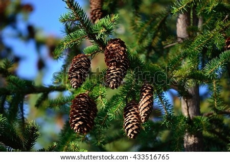 big brown cones on vibrant green spruce tree in summer sunshine