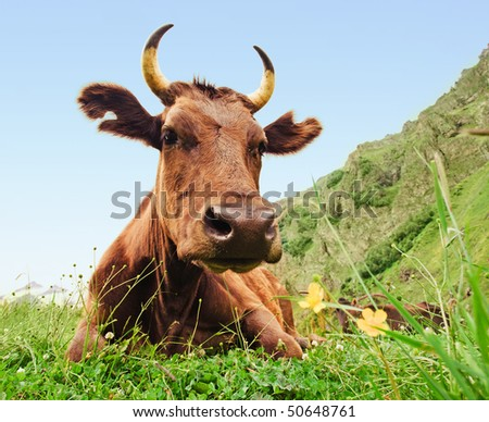 Big brown cow lying on a meadow - stock photo