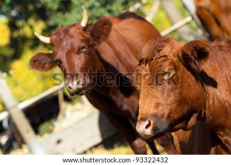 Big brown cows on a meadow and stares at the camera - stock photo