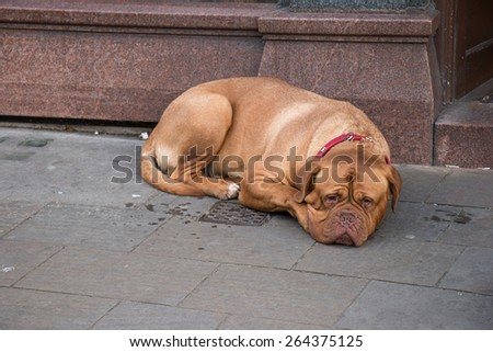 Big Brown Dog with Sad Face laying down on the street beside a building - stock photo