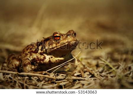big brown frog closeup - stock photo