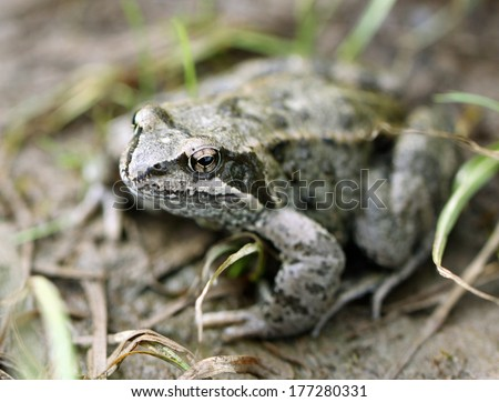 Big brown frog on forest land - stock photo