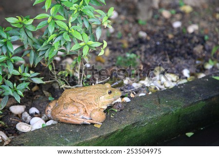 Big brown frog sitting at the park - stock photo