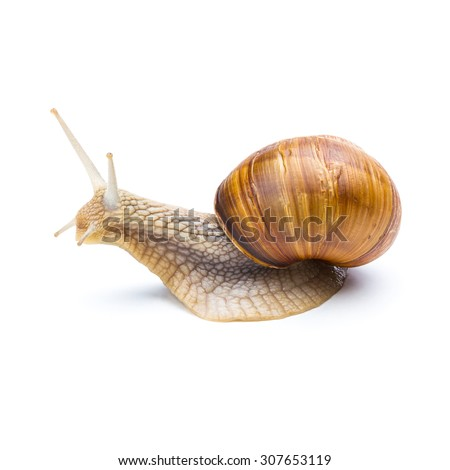 big brown garden snail isolated on white background - stock photo