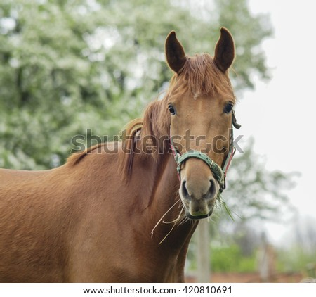 big brown horse in a green halter stands on the three background