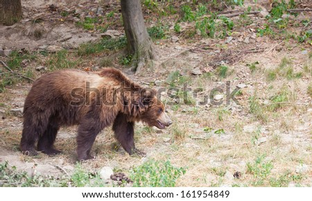 big brown Kamchatka bear goes on the wood