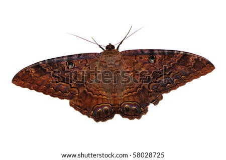 Big brown moth isolated  on a white background - stock photo