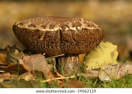 Big brown mushroom in the grass