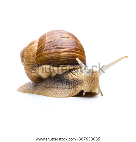 big Brown roman garden snail isolated on white background - stock photo