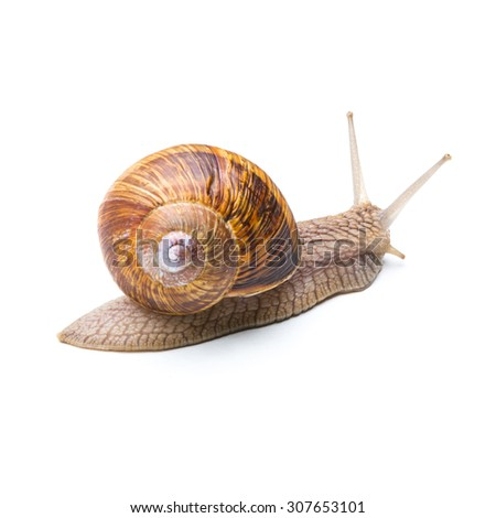 big brown snail goes away isolated on white background - stock photo