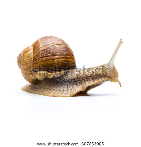 big brown snail goes slowly away isolated on white background - stock photo