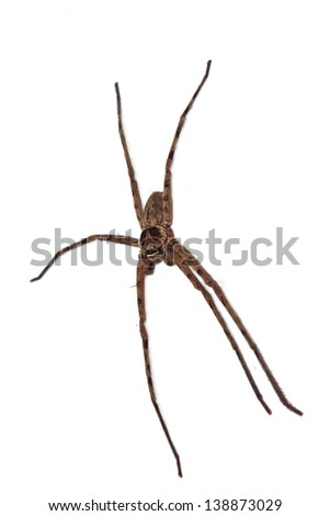 Big brown spider on the white background