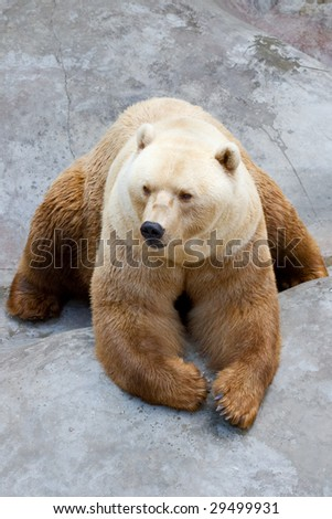 big brown white bear, resting in a zoo