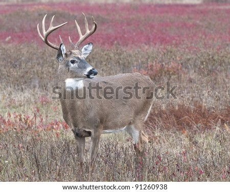 Big Buck in Big Meadows - stock photo