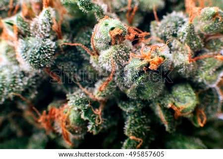 big bud cannabis drug, close-up, close-up, high resolution