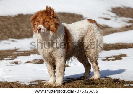 big bulgarian shepherd dog in winter meadows near forest  - stock photo