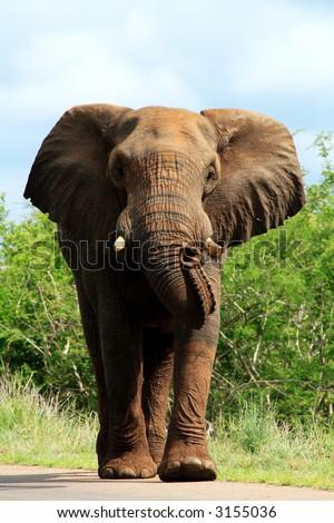 Big bull elephant on road charging - stock photo
