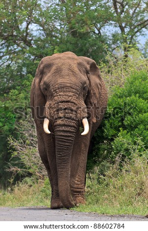 Big bull elephant walking down the road - stock photo