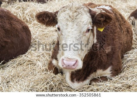 Big bull lying in straw at farm  - stock photo
