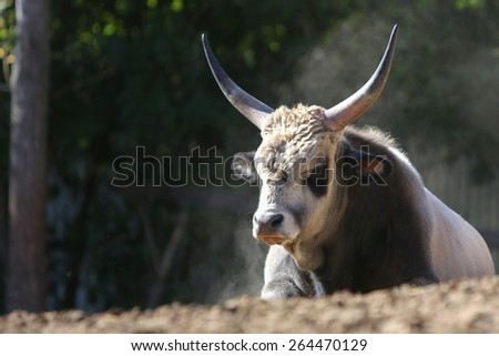 Big bull lying on the ground - stock photo