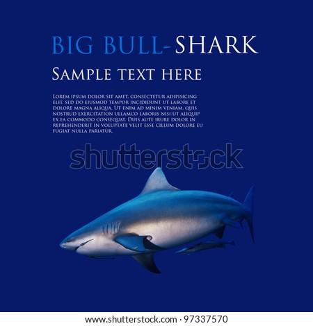 big bull shark underwater on flat blue background template - stock photo