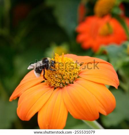 Big bumble bee on flower - stock photo