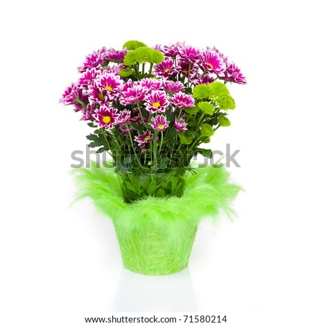 Big bunch of crimson Chrysanthemums with gree decoration - stock photo