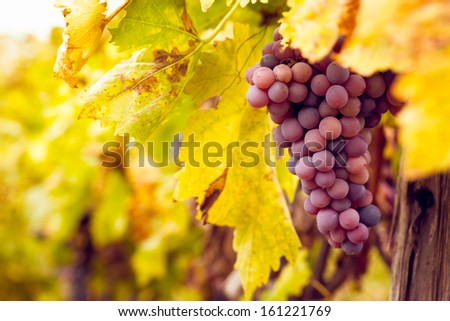 Big bunch of red wine grapes hang from a lush green vine. - stock photo