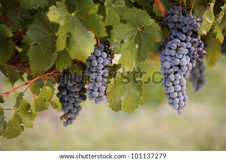 Big bunches of red wine grapes hang from a lush green vine. - stock photo