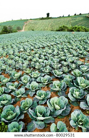 Big Cabbage farm on the mountain