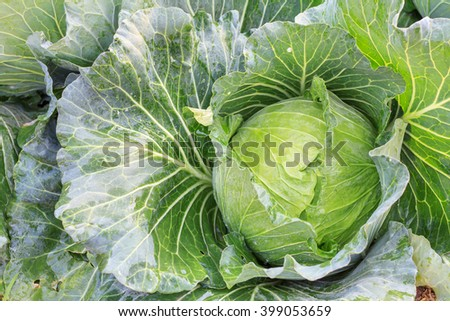 Big cabbage in the garden, Green cabbage texture, Fresh cabbage, organic vegetables. - stock photo