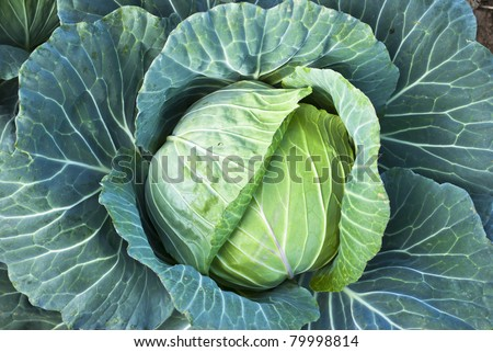 Big Cabbage on the mountain - stock photo