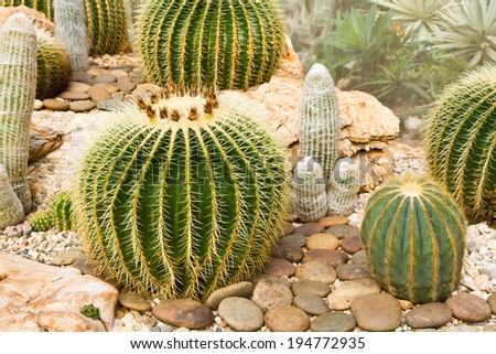 Big cactus is planted among various cactus species in the botanical garden.