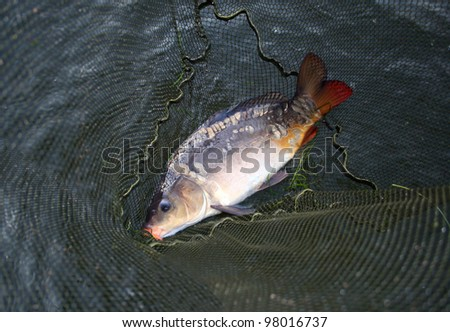 big carp in landing-net background
