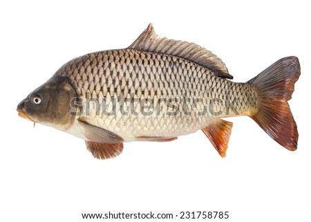 Big carp isolated on white background with clipping paths - stock photo