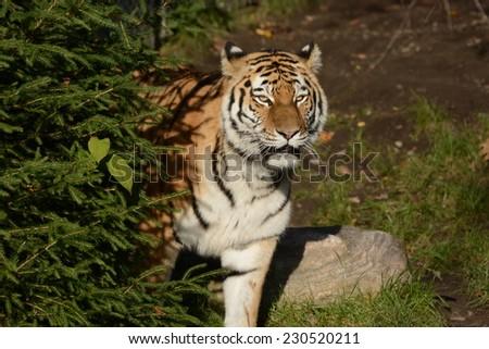 Big Cat from Siberia - stock photo