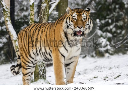 Big Cat in the first snow - stock photo