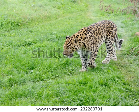 Big cat is leopard walking and looking powerful