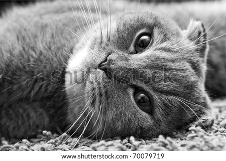 big cat is lying - stock photo