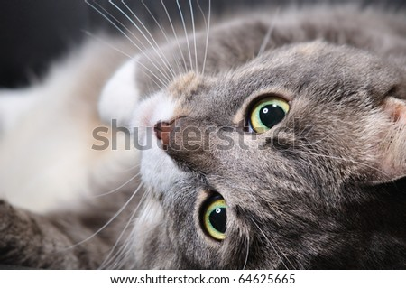 big cat is lying on a chair - stock photo