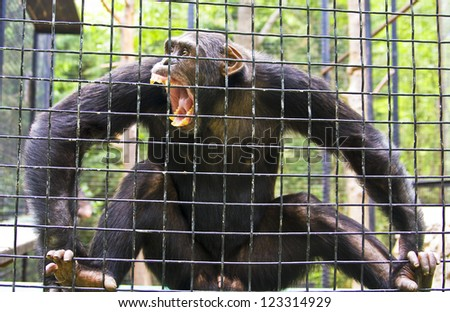 Big chimpanzee sitting in cave with opened mouth with agressive face.