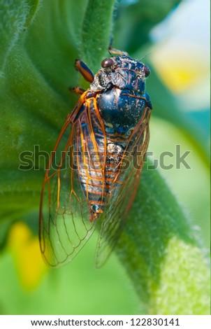 big cicada sitting on a flower - stock photo