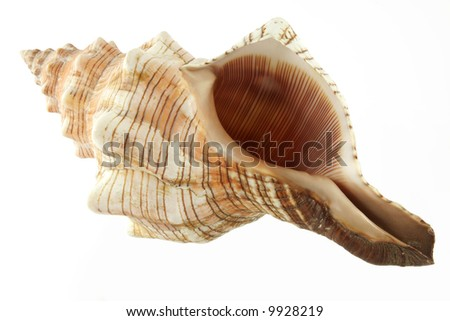 Big cockleshell isolated on the white background - stock photo