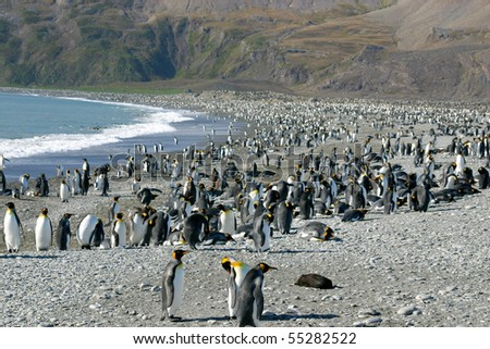 Big colony of king penguins in beach in South Georgia. Looking like crowded beach in summer